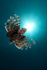 Lionfish in the Red Sea.