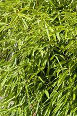 sunny illuminated bamboo leaves