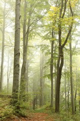 Keuken foto achterwand Bos in mist Forest trail surrounded by beech trees on a foggy morning