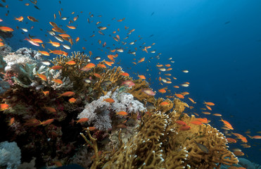 Anthias and tropical underwater life in the Red Sea.
