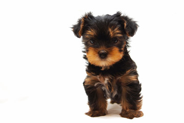 Puppy of the Yorkshire Terrier on white background