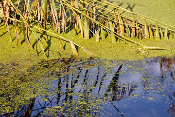 Water grass in a pond.