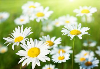 field of daisy flowers Wall mural