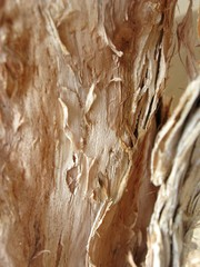 Paperbark Tree Trunk Macro