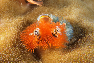 Orange Christmas tree worm - Spirobranchus giganteus
