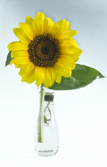 One sunflower in a glass vase on a light background