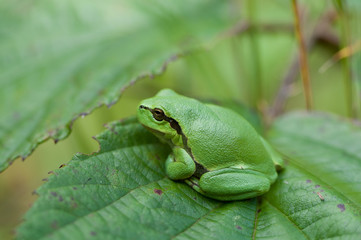 small Hyla Arborea