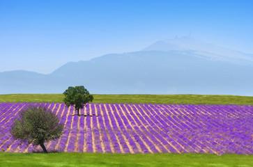 Fotobehang Lavendel lavande au pied du ventoux