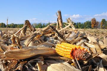 harvested corn field cut