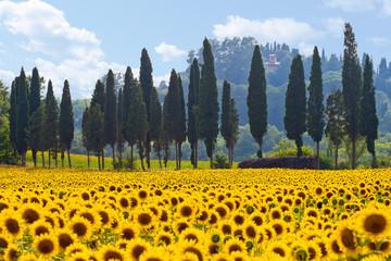 Sonnenblumenfeld in der Toskana quer Fototapete