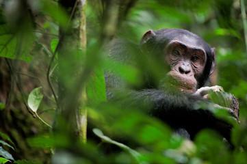 Wild Chimpanzee   portrait Wall mural