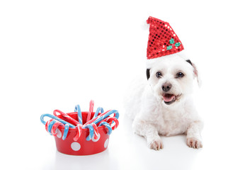 Wall Mural - White small puppy dog beside bowl of Christmas candycanes
