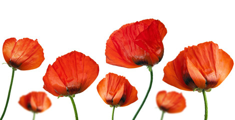 Red poppies after a rain, it is isolated on white