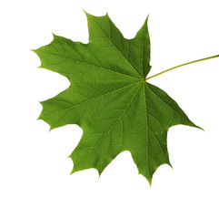 green maple leaf isolated on white