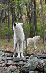 Two wild wolves howling in the woods