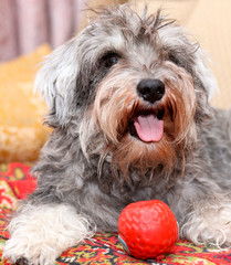 Funny active mini schnauzer isolated over colorful red carpet