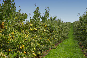 pear orchard, loaded with pears under the summer sun