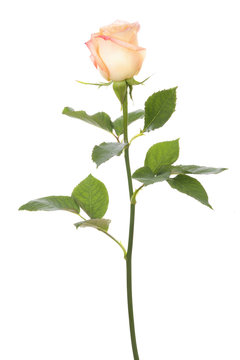 single rose isolated on white background