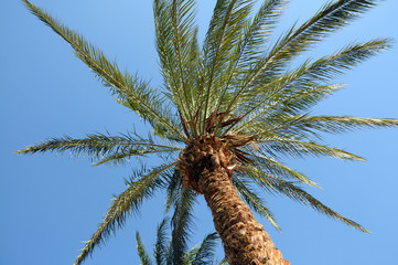 Phoenix dactylifera date palm tree in Taba, Egypt
