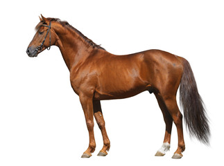 Wall Mural - Sorrel Don stallion