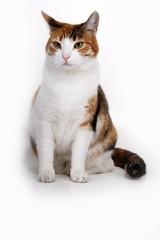 Кошка на белом фоне