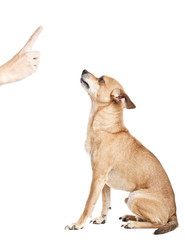 chihuahua looking at index finger