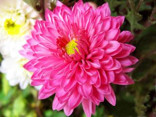 Chrysanthemum Closeup.