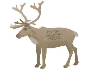 Rentier – Reindeer