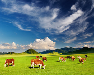 Wall Mural - Grazing cows