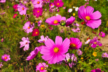 Pink daisies on a field
