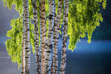 Keuken foto achterwand Berkbosje Birch tree and leaves in spring colors