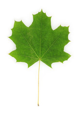 beautiful green maple leaf isolated on white