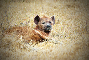 Laid-down hyena  picture with vignetting effect