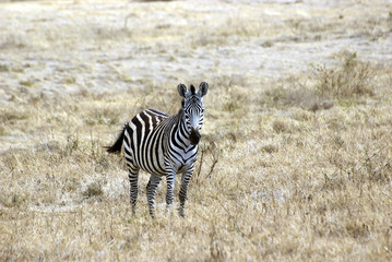 Lonely zebra picture