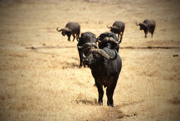 African buffalo group