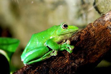 Wall Mural - green frog in terrarium