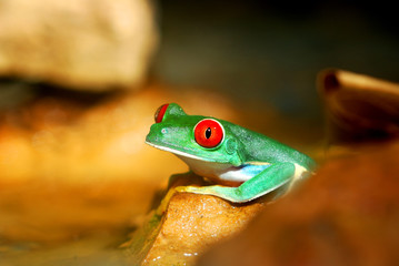 Wall Mural - red-eye frog in natural environment