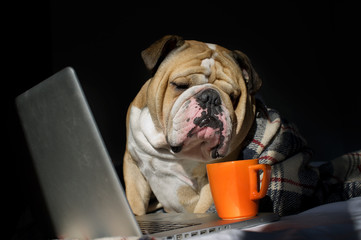 Sad bulldog sitting in front of computer in a plaid