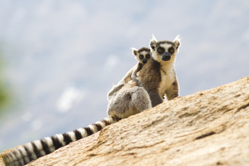 Ring-tailed lemurs in Anja Reserve, Madagascar