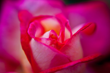 Center of  fuchsia rose color ,Close-up.
