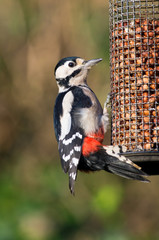Woodpecker on bird feeder