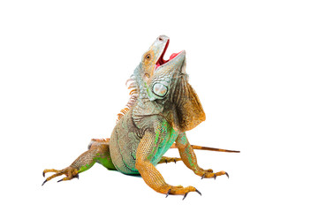 Wall Mural - iguana on isolated white