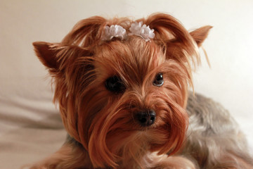 portrait of a dog Yorkshire Terrier