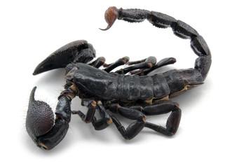 dark scorpion