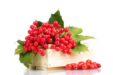 red berries of viburnum in wooden box and briar isolated