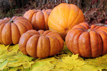 Ripe orange pumpkins