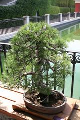 Bonsai Pinus Uncinata-Pino Negro