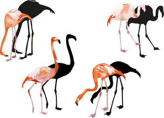 four pink flamingo on white