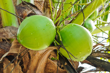 green coconut on tree