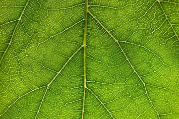 foglie 1754
